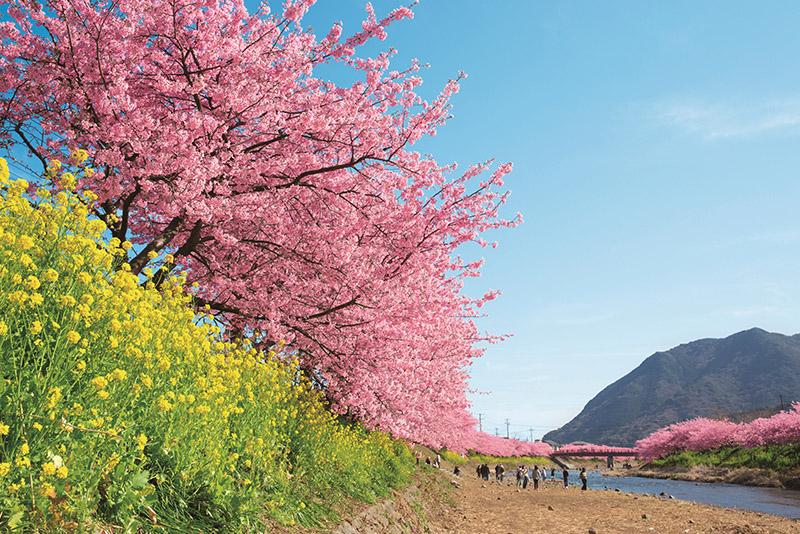 桜_3-09静岡県提供_河津3