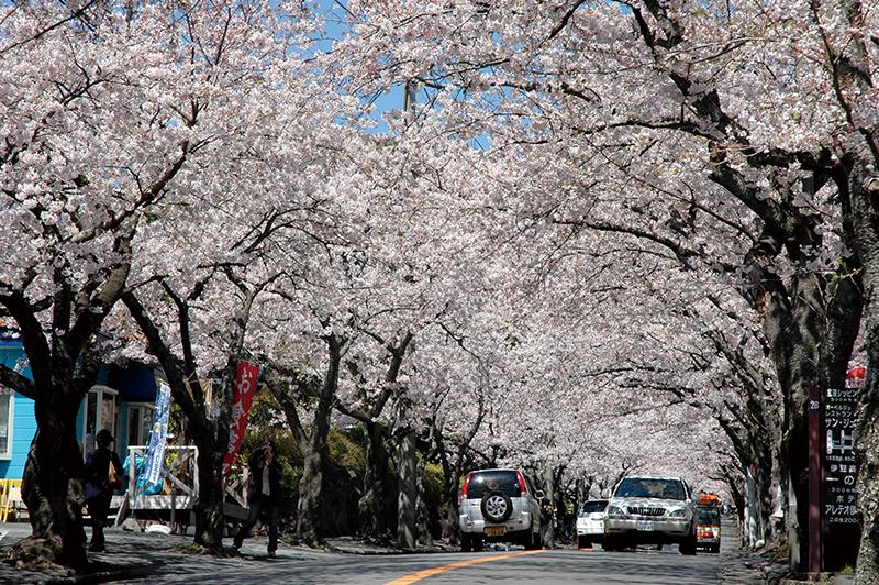 桜_3-08静岡県提供_伊豆高原3