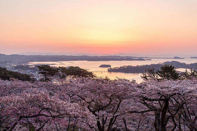 桜_2-05松島町提供_西行もどしの松公園