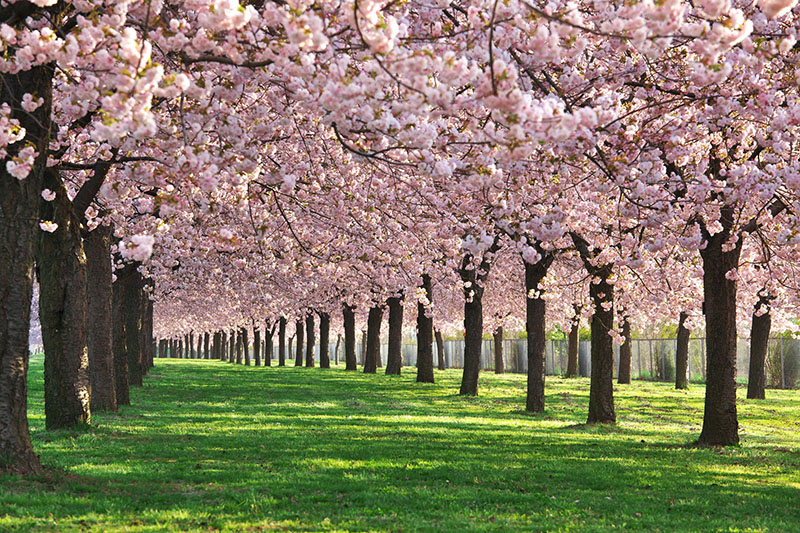 桜_3-05小布施_千曲川堤防の桜p